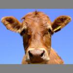 Hello-Cow